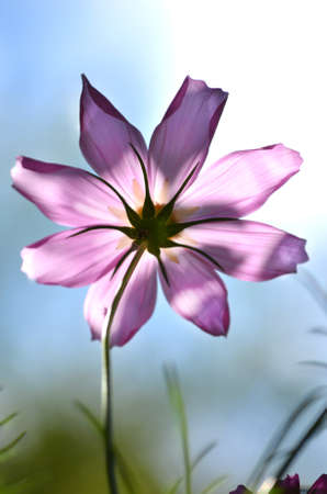 easter lily: beautiful pink cosmos flowers on a sky background - close up Stock Photo