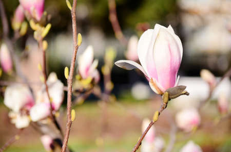 showy: beautiful magnolia flowers.Spring time