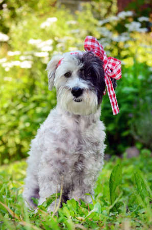 hanky: small white poodle dog with ribbon on the head