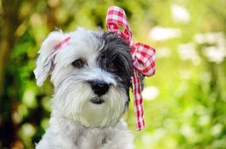 white poodle: small white poodle dog with red  ribbon on the head