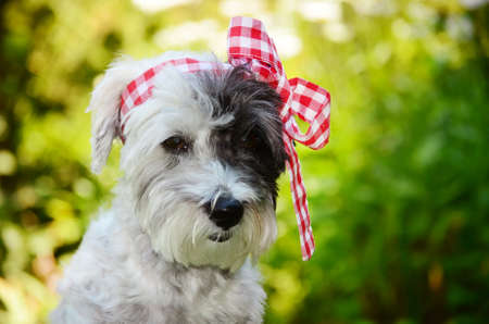 small white poodle dog with red  ribbon on the head