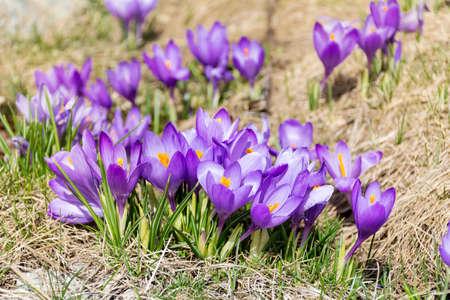 crocuses: purple crocuses in the mountain . Spring landscape