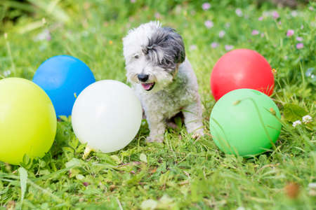 white small poodle  dog celebrating his birthday party in the park with balloons Stock Photo