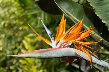 Bird of paradise, exotic strelitzia in a botanical garden
