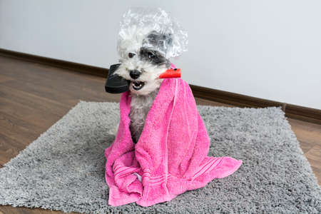 cute dog with comb in the mouth ,shower cap and towel.Bath time