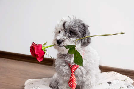 dog in love with red tie and red rose in the mouth on valentines day Banco de Imagens