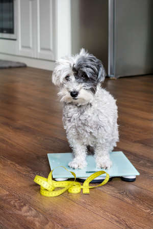 cute poodle dog sitting on weigh scales with measuring meter