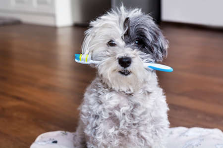 white poodle dog with a toothbrush in the mouth