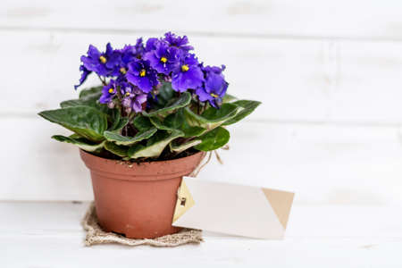 african violet pot  flowers with message card on a white wooden background
