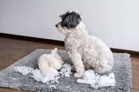 poodle dog with plush toy in the mouth made a mess in the apartment