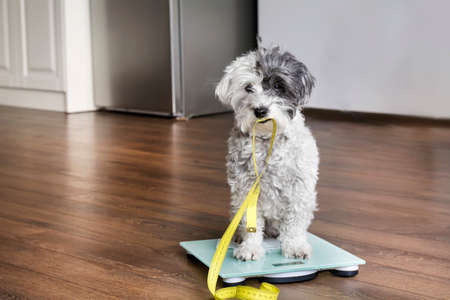 cute poodle dog sitting on weigh scales with measuring meter in the mouth