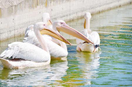 white pelicans in the lake Banco de Imagens