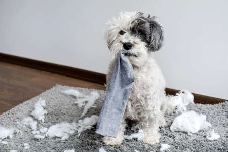 Naughty poodle dog with sock in the mouth  made a mess at home
