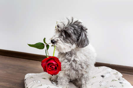 dog in love with red rose in the mouth on valentines day