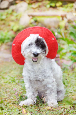 white havanese dog with red hat looking at the camera in a green garden