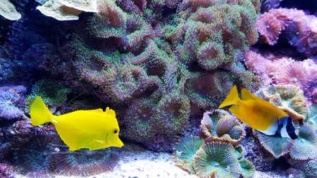 Zebrasoma flavescens - Yellow Tang Fish Zdjęcie Seryjne