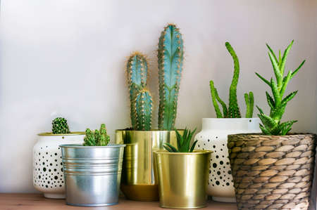 Cacti Flowers in a Small Pots.Home Decoration with Succulent Plants