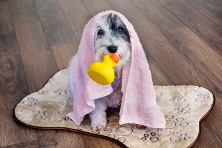 Cute Dog  with Red Towel and Yellow Rubber  Duck Ready for Bath Zdjęcie Seryjne