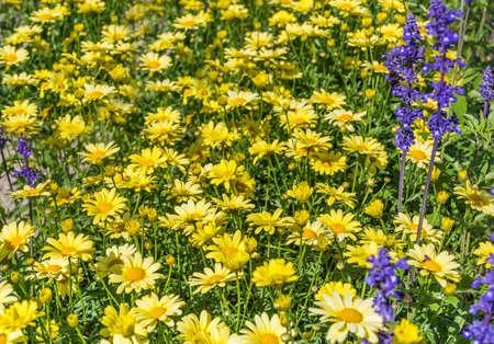 Beautiful Yellow Blooming Flowers Garden .Margaritas Background