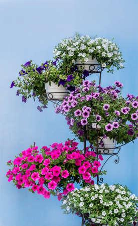 Blooming Petunia  Flowers in Pot on a Blue Background Zdjęcie Seryjne