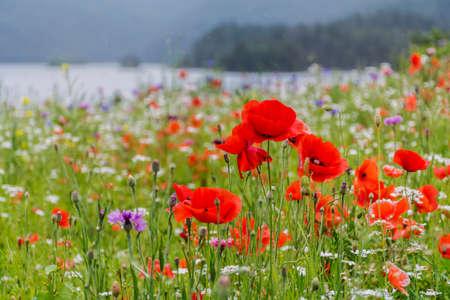 Poppy Flowers in a Green Meadow