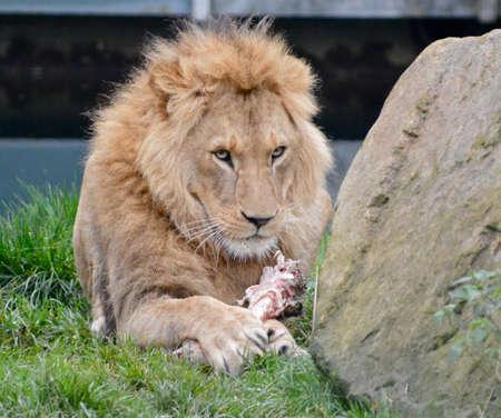 Portrait of lion Stock Photo