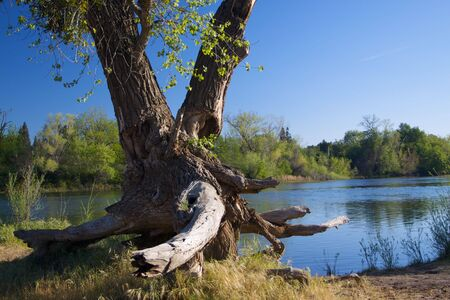 Large Valley Oak tree by American River with long dead exposed roots