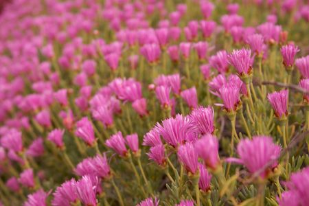 Bed of crowed pink flowers with green stems and leaves with narrow depth of field Stock Photo - 4772846