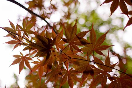 Japanese Maple Tree leaves silhouetted against soft focus green leaves