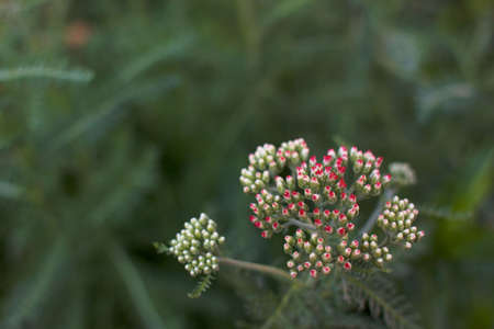 Red Yarrow just starting to bloom against a soft green leaf background photo