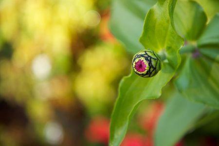 eye ball: capullo de flor que apenas est� comenzando su floraci�n parece un bal�n de ojo alien�gena