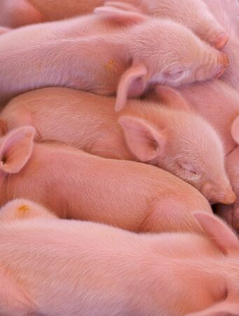 food industry: a pile of pink piglets just born at the state fair