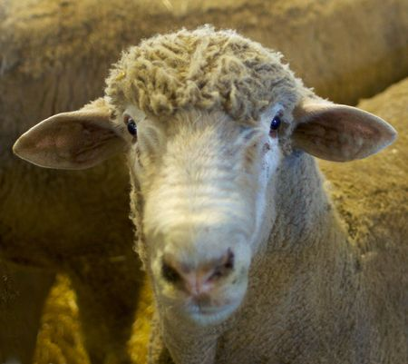 head down: a sheeps head with the face looking directly into the camera with focus on the eyes