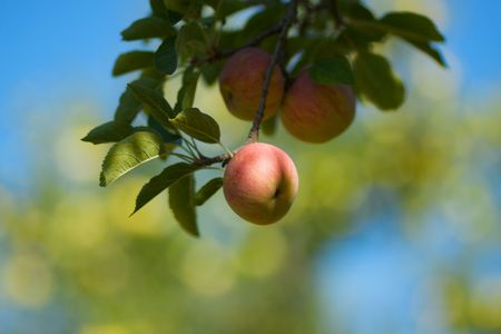 a red apple still on the branch against a soft focus background of blue sky and other apple trees Stock Photo - 5568252