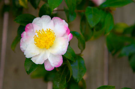 White Pink Camellia with yellow petals with background of soft focus redwood fence photo