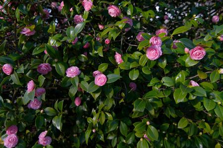 Bunch of Bright Pink Camellias against deep green leaves