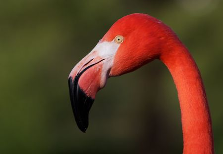 Close up of flamingo bird head looking sideways with soft focus green background photo