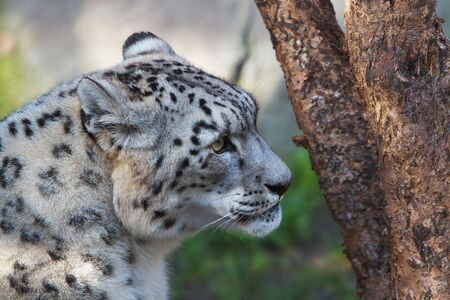 Snow Leopard looking past tree with soft background photo