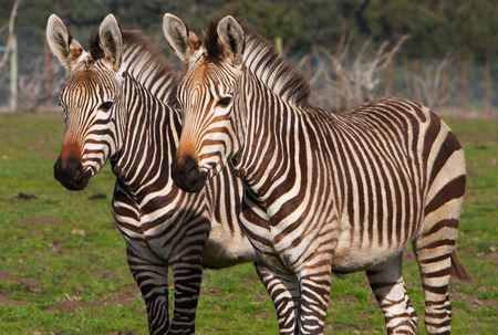 Pair of zebras side by side at wild life refuge photo