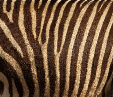 Close up of the mid-section side of a zebra Banco de Imagens