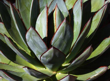 sun lit: Sun lit Multi-bladed or green leaved cactus