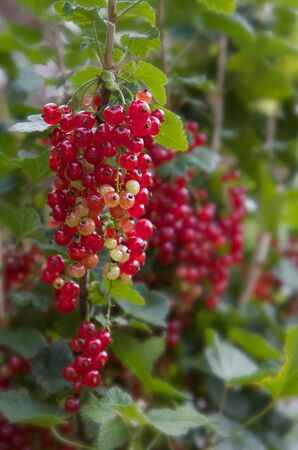 Red Currants against soft focus background 写真素材