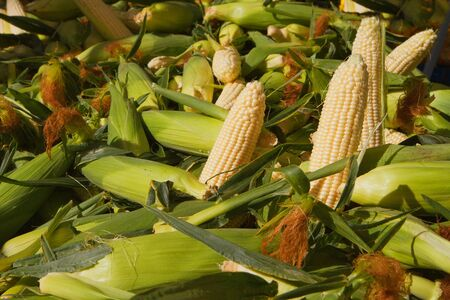 shucked: Several ears of shucked corn on a pile of ears of corn