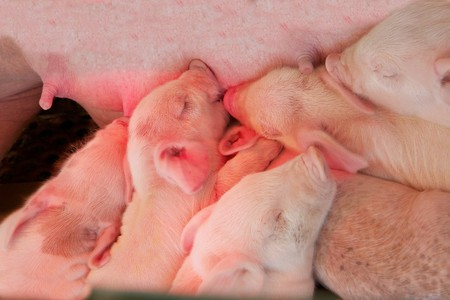 Pile of pink piglets feeding on their mothers teets photo