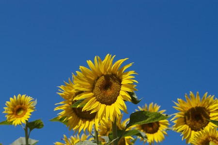 Several sunflowers with center single in focus against blue sky photo