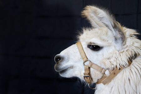 Profile of a harnessed white Alpaca head against a dark background photo