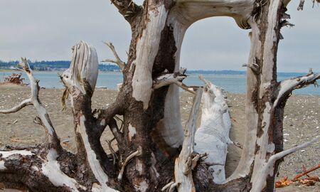 strange large bleached driftwood tree on beach photo