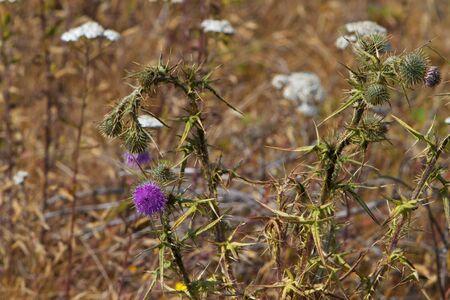 Purple milk thistle flower with soft focus field in background photo