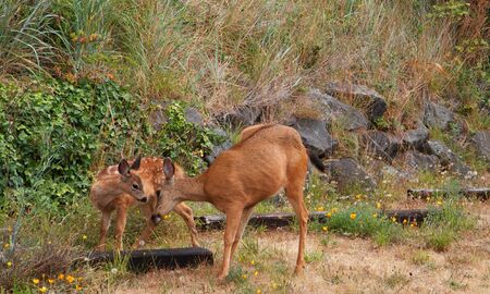 Red Brown Fawn and Doe loving one another against a grass hill Stock Photo - 7591901