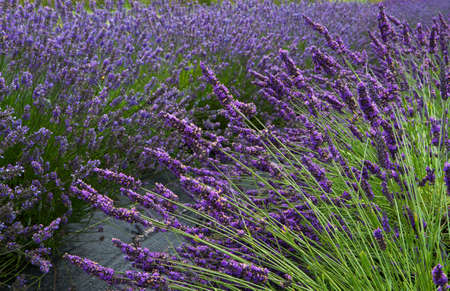 Lavender flower field diminishing to distant soft focus but with emphasis on front as a horizontal image